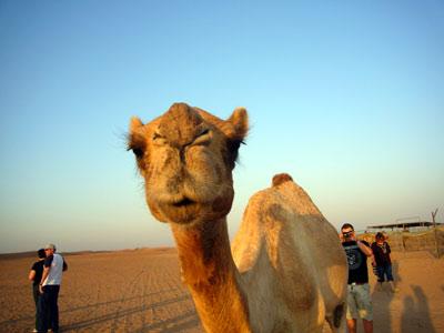 ラクダの画像 p1_12